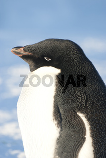 Portrait of an adult Adelie penguin against a blue sky.