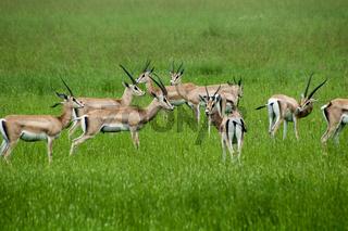 gazzelles