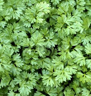 Kerbel, Anthriscus, Cerefolium, Garten-Kerbel,