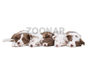 Five border collie puppy dogs in a row