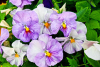 Closeup-of-light-lilac-pansy-flowers-shallow-depth-of-field