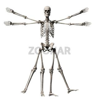 vitruvian man - skeleton