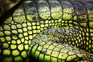 gavial crocodile close up macro