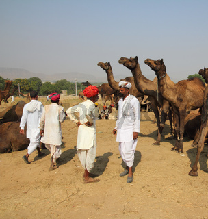 Pushkar Camel Fair - sellers of camels during festival