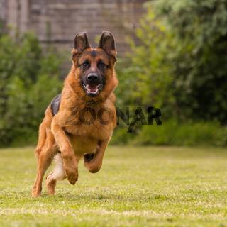 Schaeferhund laeuft