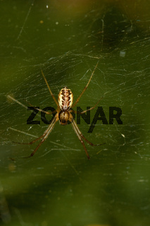 Baldachinspinne - Linyphia triangularis