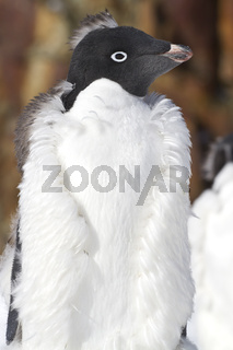 portrait moulting Adelie Penguin with a mohawk on his head autumn day