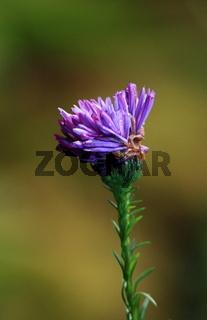 Aster, Lila Blütenkopf der