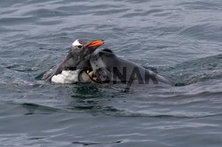 leopard seal who grabs gentoo penguin