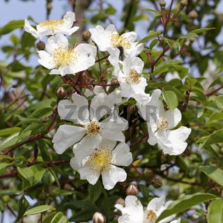 Rosa sempervirens, Immergrüne Rose