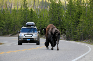 Bison Encounter on the Road