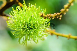 Soft fruit of rambutan is pure natural
