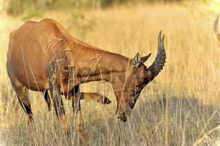 Topi Antilope in der Masai Mara