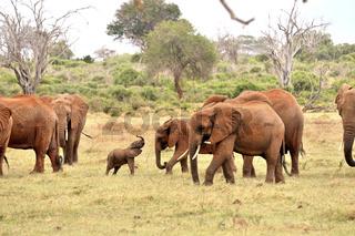 verspieltes Elefantenjunges mit seiner Familie