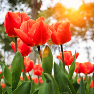 fresh tulips in warm sunlight