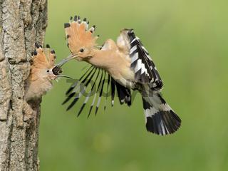 Wiedehopf im Flug