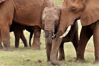 Elefantengeschwister mit zärtlicher Zuneigung
