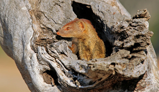 Manguste im South Luangwa Nationalpark, Sambia; mongoose at South Luangwa National Park, Zambia, Herpestidae