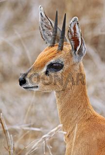 Steinböckchen im Kruger Nationalpark, Südafrika, steenbok in South Africa, Raphicerus campestris