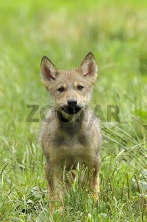 Junger Europäischer Wolf, Canis lupus