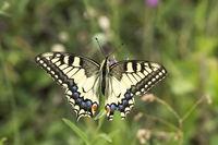 Papilio machaon, Schwalbenschwanz (Niedersachsen)