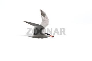 Common tern - Sterna Hirundo - in flight