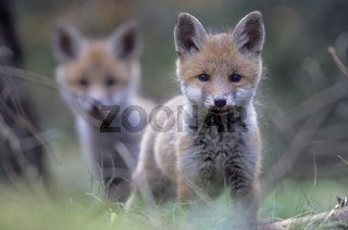 Rotfuchswelpen beobachten gespannt den Fotografen in der Naehe des Baus - (Rotfuchs - Fuchs) / Red Fox kits observing intently the photographer near the den - (European Red Fox) / Vulpes vulpes