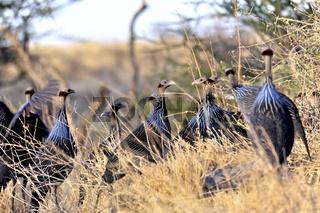 Geierperlhuhn in Buffalo Springs, Kenia