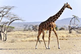 Netzgiraffe in Nord Kenia