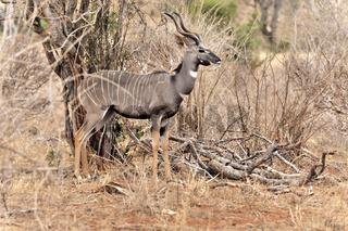 Antilope Kleiner Kudu