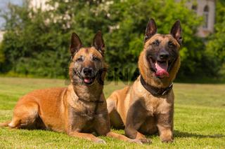 Zwei belgische Schaeferhunde liegen
