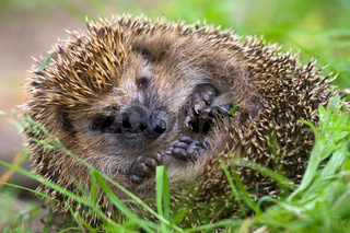 hedgehog curled  and sleeps ant awakes him