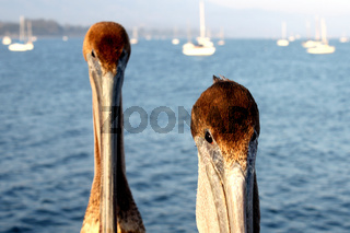 Kalifornien Pelikane