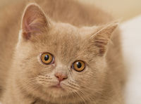 A Fawn British Shorthair Kitten