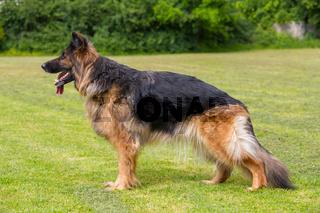 Schaeferhund Stellung