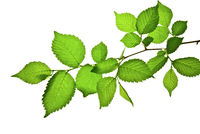 Branch-with- green-toothed-leaves-isolated-on-white