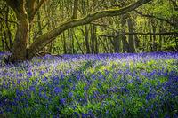 Blauglöckchen bedecken den Waldboden