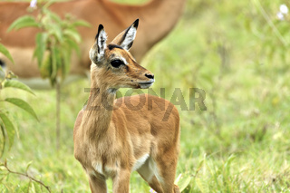 Kitz einer Impala Antilope