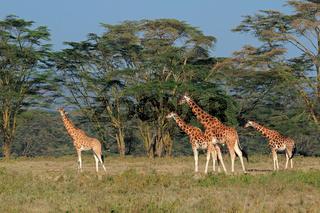 Rothschilds giraffes