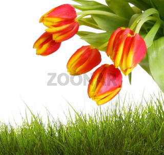Red tulips  isolated .