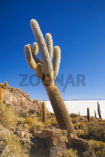 Huge cactus growing near white salt planes Salar de Uyuni in Bolivia