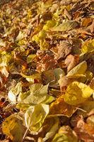 Herbstlaub - Goldene Blätter im Herbst
