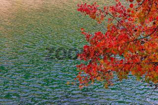 Herbstlaub Erle
