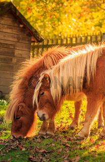 Zwei Ponies im Herbstlicht