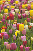 Tulpenfeld / Field of tulips
