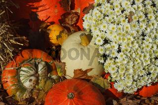 Zierkürbisse mit Blumen - Cucurbita pepo