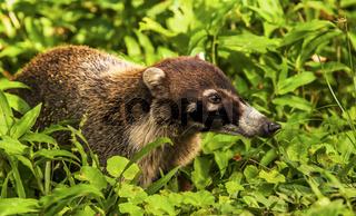 Weißrüssel-Nasenbär in freier Wildbahn