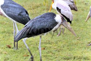 Marabu am Nakuru-See, Kenia