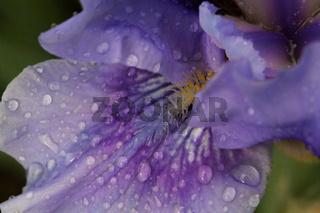 Schwertlilie lila Wassertropfen Anschnitt