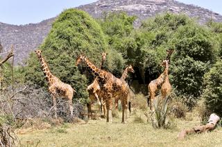Gruppe von Giraffen im Samburu Nationalpark